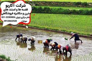 خرید برنج از شالیزاهای شمال