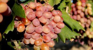 درمان میگرن با انگور